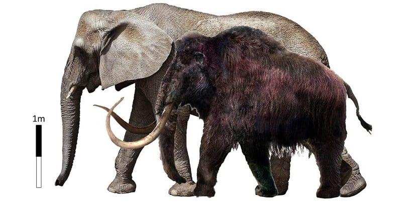 Mamut tamaño